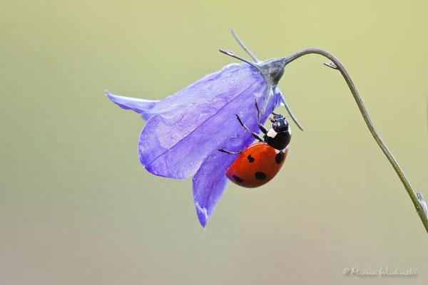 Siebenpunkt  Marienkäfer (Coccinella septempunctata)
