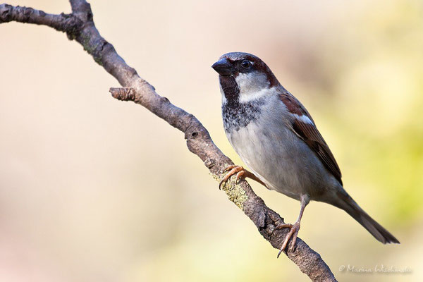 Haussperling (Passer domesticus)