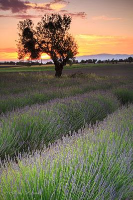 Sonnenuntergang im Lavendelfeld