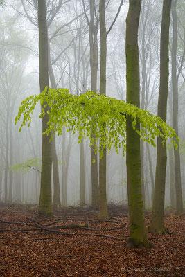 Frisches Buchengrün im Nebel