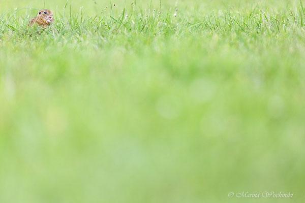 Europäischer Ziesel (Spermophilus citellus)  Burgenland 2014