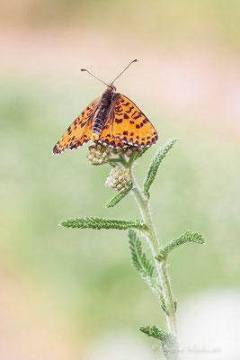 Scheckenfalter (Melitaea)