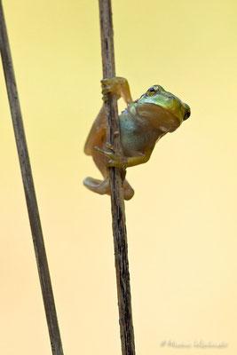 Europäischer Laubfrosch (Hyla arborea)