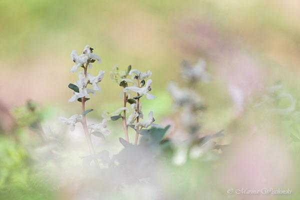 Der Hohle Lerchensporn (Corydalis cava)