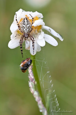 Eichblatt_Radspinne(Aculepeira ceropegia)