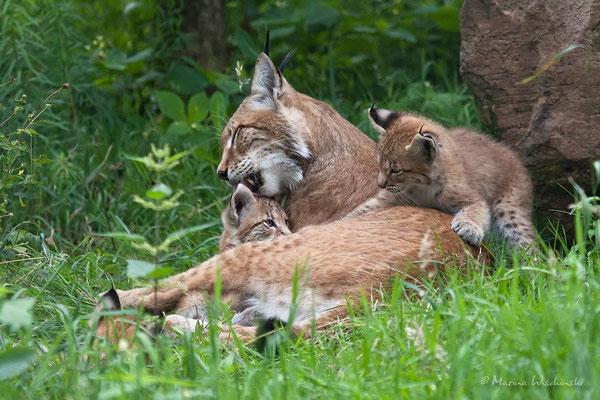 Eurasischer Luchs (Lynx lynx) - captive
