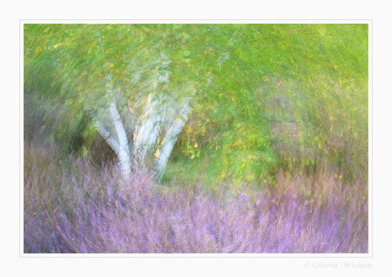 Birke inmitten von Heidekraut