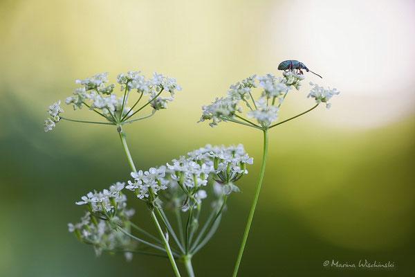 Käfer im Licht...
