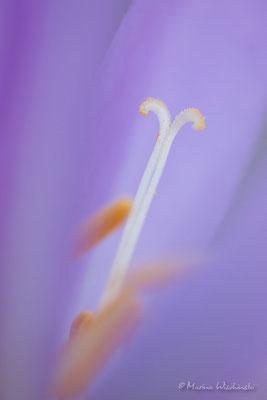 Herbstzeitlose (Colchicum autumnale)