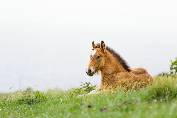 Fohlen des Pottok-Pony (Baskisches Wildpferd)