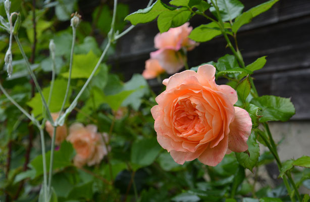 Rosen blühen hier im Neuhaus bis in den November