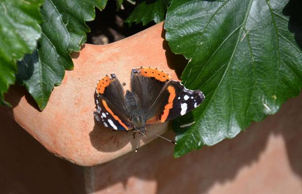 Schmetterlinge im Emmental- hier ein kleiner Fuchs