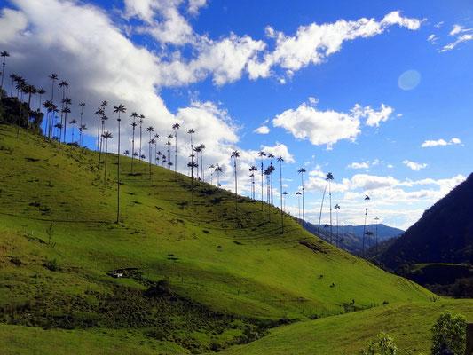 Valle del Cocora - Wachspalmen