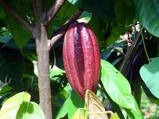 Kakao - foto by chapoleratours