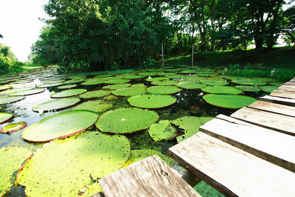 Victoria Regia - die größte Lotosart der Welt