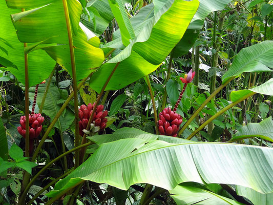 rote Bananen - Biopark Bonita Farm Pereira - foto by chapoleratours
