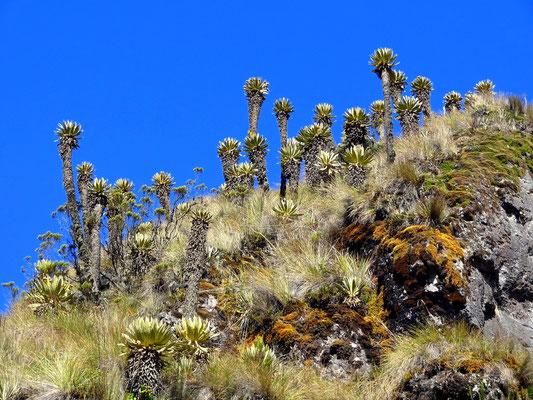 Frailejones nahe dem Nevado del Ruiz