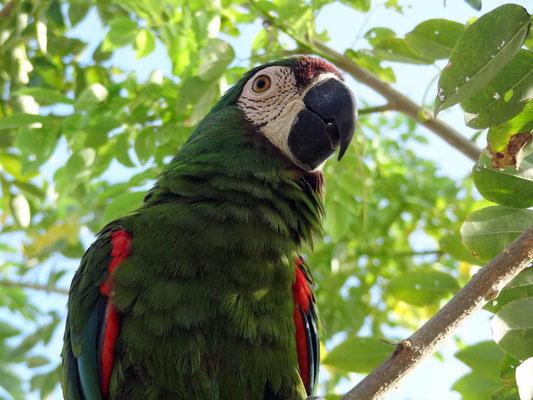 Papagei Lorenzo - Tatacoa Wüste