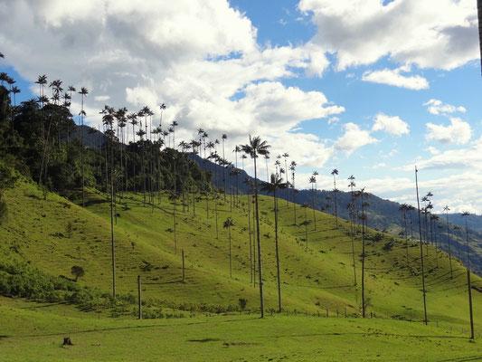 Wachspalmen im Valle del Cocora - foto by chapoleratours