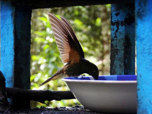 Kolibri auf der Finca Acaime - foto by chapoleratours