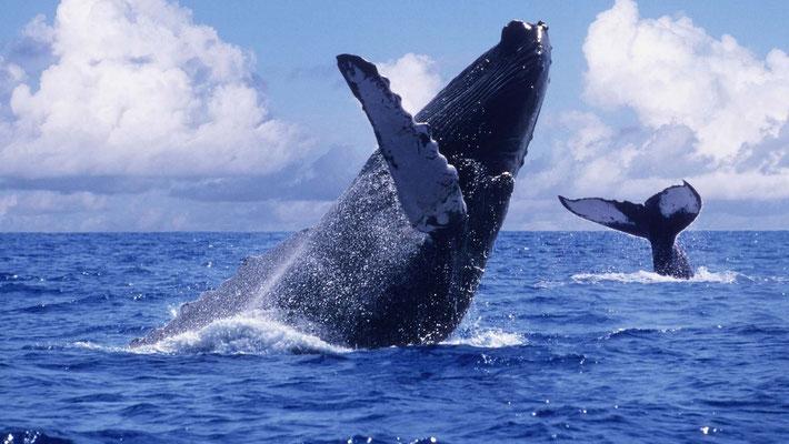 Buckelwale Küste Nuquí - Choco/Pazifik