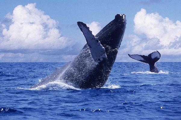 Beeindruckende Buckelwale, die alljährlich von Juli bis Oktober in Strandnähe zu bestaunen sind