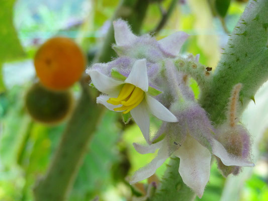 Lulo- Blüte - foto by chapoleratours