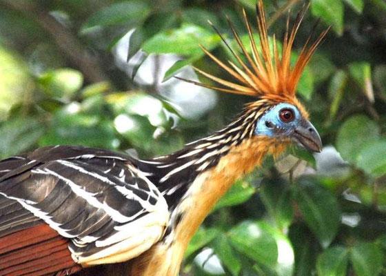 Hoatzin auf der Reserva Boronawi - Foto by El Tiempo/Reserva Natural Boronawi
