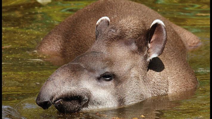 Der Amazonas- Tapir