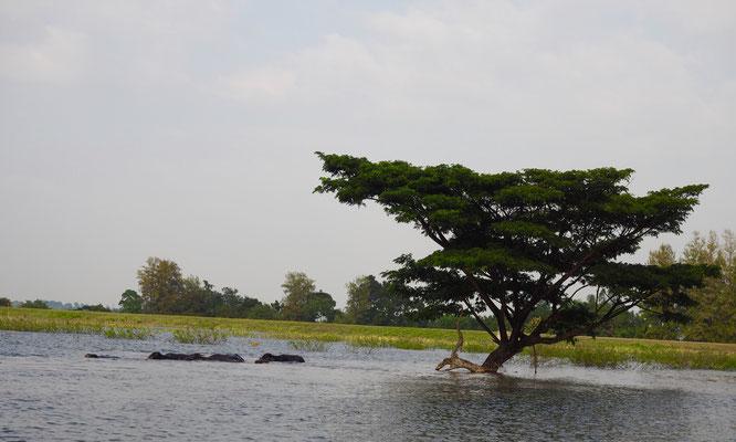Wasserbüffel beim See