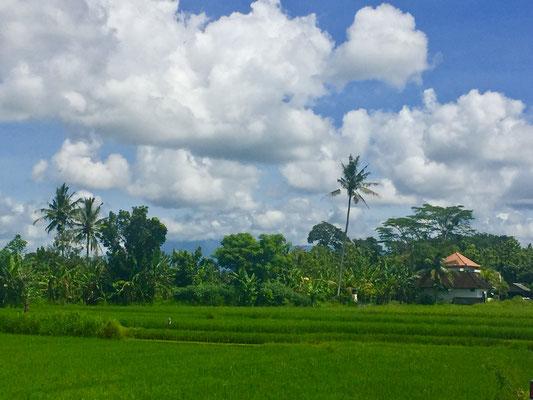 Typisch Bali, Reisfelder und Palmen