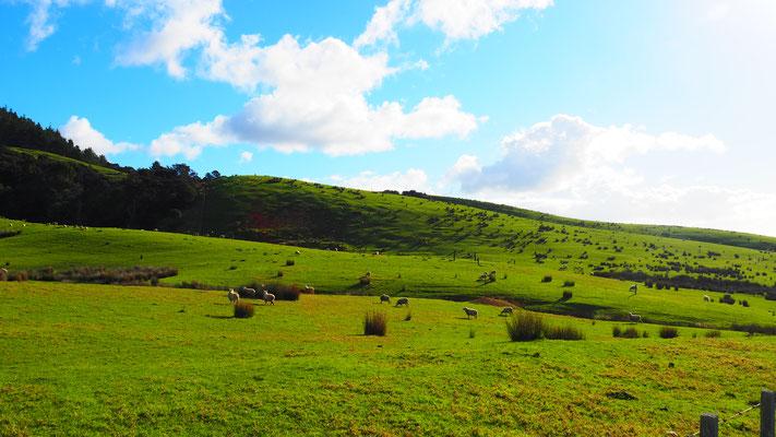 Schafe gibt es viele in NZ