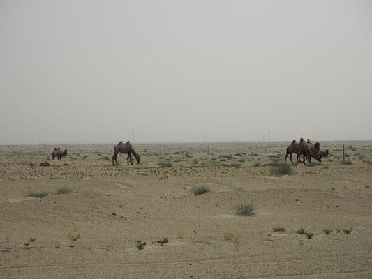 Kamele in der Taklamakan