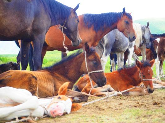viele hunderte Pferde