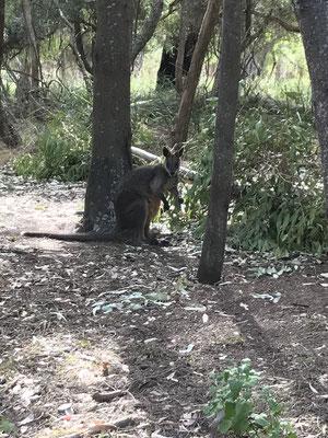 野生のワラビー