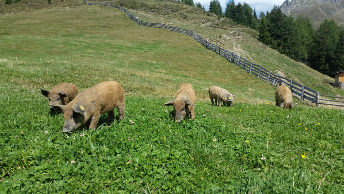 Wollschweine an der Uwaldalm