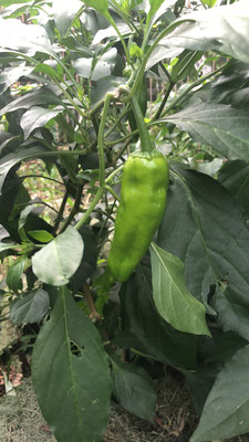 leicht scharfe grüne Paprika
