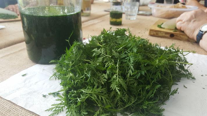 Artemisia Annua Ernte