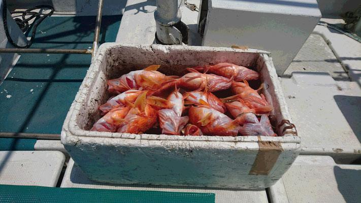 5月20日釣り上げた魚