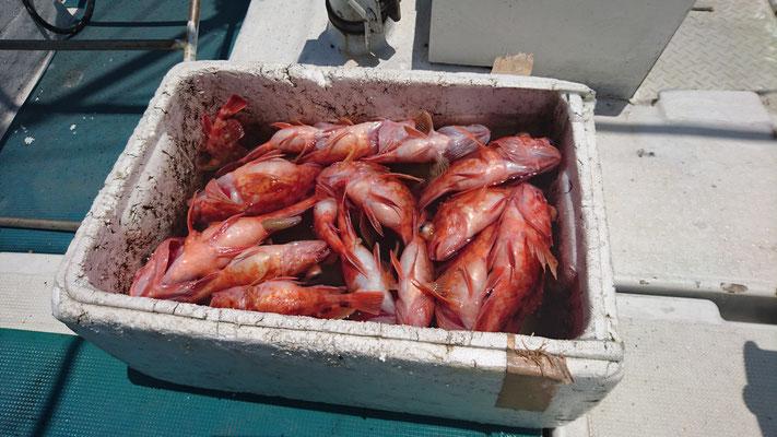 5月28日釣り上げた魚