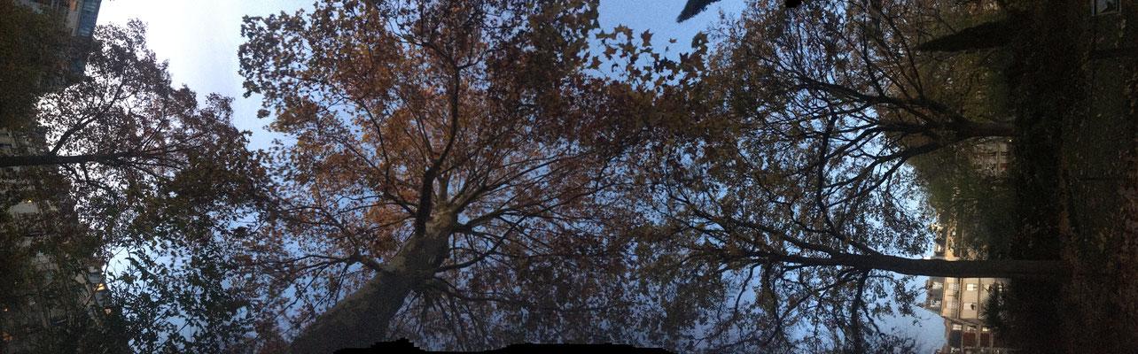 Pano Long arbre 20