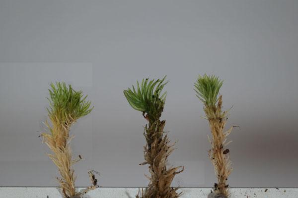 Sprosse von L. juniperoideum, einem untypischen L. juniperoideum und L. glaucum im Vergleich (v. l.).