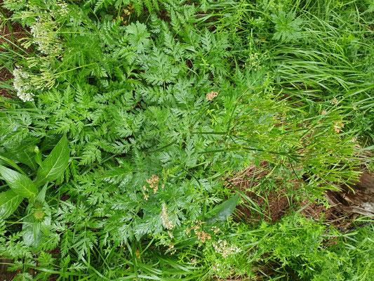 Chaerophyllum villarsii (Villars Gebirgs-Kälberkropf)