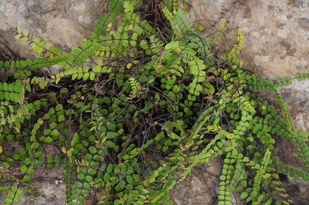 Asplenium trichomanes ( Braunstieliger Streifenfarn)