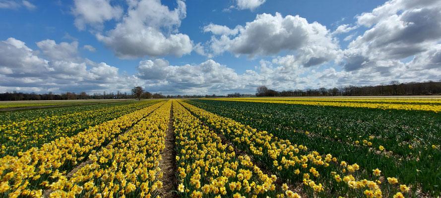 Bulbfields - Lisse - april