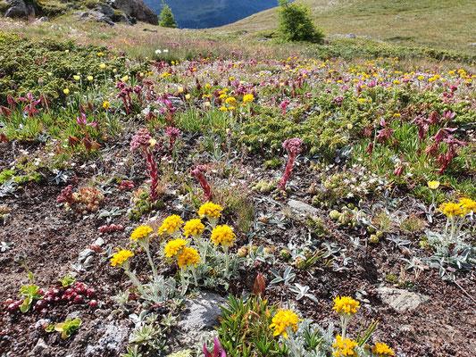 Senecio incanus subsp. incanus (Gewöhnliches Graues Greiskraut)