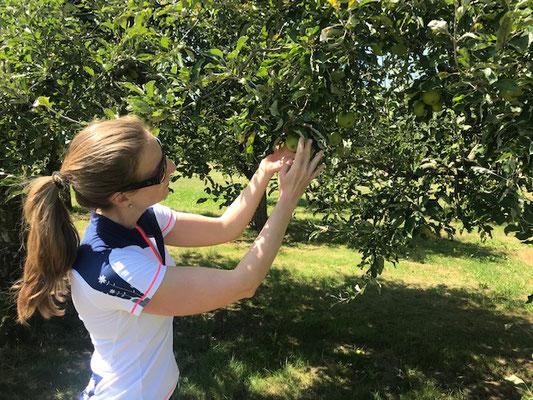 Apfelbäume in Hünenberg, Kanton Zug