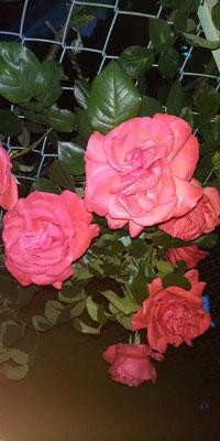 ピンクのバラ写真素材無料ダウンロード・商用利用可