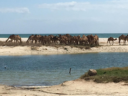 und Kamele