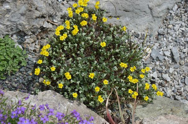 helianthemum canum  sonnenröschen